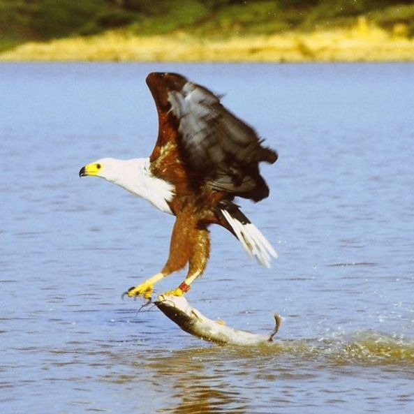 599px-african_fish_eagle_just_caught_fish