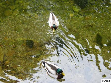 Ducks and Grasmere