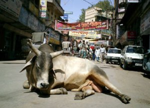 india-roads-cows