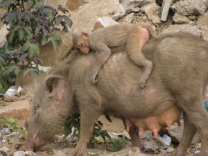 pigs and monkeys